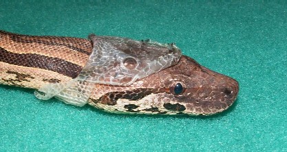 Madagascan Ground Boa (Acrantophis madagascariensis) -5