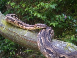 Madagascan Ground Boa (Acrantophis madagascariensis) -2